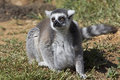 Expecting a pregnant ringtailed lemur endangered species expressing the stress of pending motherhood i e whereas some expect a Royalty Free Stock Image