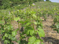 Expensive wine grand cru vineyard in the cote d or in burgundy france Stock Photography