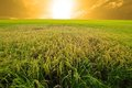 Experimental rice farm ( transgenic test) Royalty Free Stock Photo