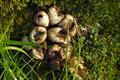 Exploded puffball mushroom cluster Royalty Free Stock Photo