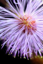 'Explosive' view of Mimosa pudica inflorescence Royalty Free Stock Photography