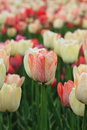 Expo flower garden beautiful tulips in arrangement of jinzhou city china Stock Photography