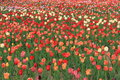 Expo flower garden beautiful tulips in arrangement of jinzhou city china Royalty Free Stock Photo