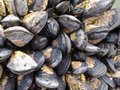 Exposed mussels on a rock at low tide Stock Photos