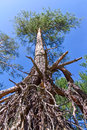 Exposed roots of the pine trees against sky Royalty Free Stock Photography