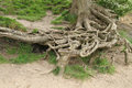 Exposed Roots. Royalty Free Stock Photo