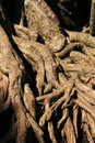 Exposed tree roots Royalty Free Stock Photography