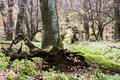 Exposed tree roots autumn deciduous forest Royalty Free Stock Photography