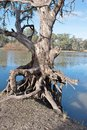 Exposed tree roots on bank of murray river an old gum with above the the Royalty Free Stock Images