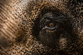 Expressive elephant eye asiant close up with a lot of detail Stock Photo