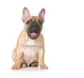 Expressive puppy french bulldog with surprised expression months old isolated on white background Stock Photo