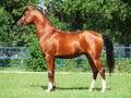 Exterior of beautiful bay young  arabian stallion Royalty Free Stock Photo