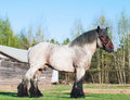 Exterior of  Belgian draught horse. Royalty Free Stock Photo