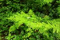 Pacific Northwest forest with ferns in summer Royalty Free Stock Photo