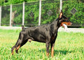 Exterior of wonderful purebred black doberman Royalty Free Stock Image