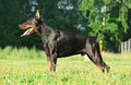 Exterior of wonderful purebred black doberman Royalty Free Stock Photography