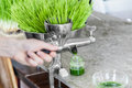 Extraction of Wheatgrass in Action on the Kitchen Countertop usi Royalty Free Stock Photo