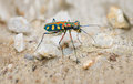 Extreme closeup of a brightly colored tiger beetle in the wild iridescent standing on its long spindly legs sun Stock Images
