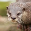 Extreme closeup shot cute small clawed otter water drops its whiskers Royalty Free Stock Photos