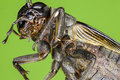 Extreme macro of a field cricket Royalty Free Stock Photo