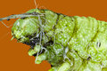 Extreme macro of green  caterpillar Royalty Free Stock Photo