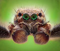 Extreme magnification - Jumping spider portrait, front view Royalty Free Stock Photo