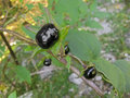 Extremely toxic Deadly nightshade berry grown in forest in Austr