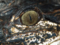 Eye of an alligator Royalty Free Stock Images