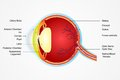 Eye Anatomy Royalty Free Stock Images