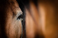 Eye of Arabian bay horse Royalty Free Stock Photo