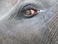 Eye of asian elephant the is still found in large areas the continent either free or domesticated for work and processions Royalty Free Stock Photo