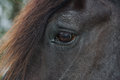 Eye of a black percheron draft horse an up close view an Royalty Free Stock Photography