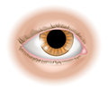 Eye body part illustration an of a human could represent sight in the five senses Stock Photos