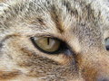 Eye of Cat Stock Photo