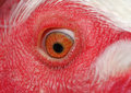 Eye of a chicken Royalty Free Stock Photo
