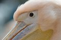 Eye close up of white common pelican closeup and head in danube delta romania Stock Photography