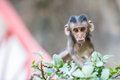 Eye contact with a baby monkey at tiger cave temple krabi thailand Stock Photography