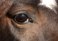 Eye of a dark bay Arabian horse Stock Photography