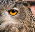 Eye of eagle owl Royalty Free Stock Photo