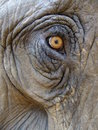 Eye of an elephant Royalty Free Stock Photo