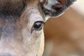 Eye of a fallow deer Royalty Free Stock Photo