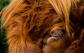 Eye of a highland cattle brown haired Stock Photography