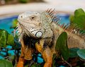 Eye of Iguana Royalty Free Stock Photo