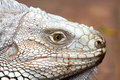 the eye of  iguana Royalty Free Stock Photo