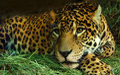 Eye of the Jaguar Royalty Free Stock Photos