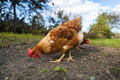 Eye level with a free range chicken Royalty Free Stock Photo