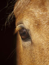 Eye of palomino horse closeup Royalty Free Stock Image