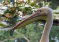 Eye of a pelican profile with an emphasis on the Royalty Free Stock Image