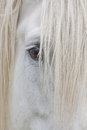 Eye of a percheron draft horse white Royalty Free Stock Photography