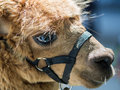 Eye reflection close up look of of brown alpaca Royalty Free Stock Photography